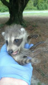 Baby racoon relocate