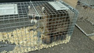 Humane trap racoon